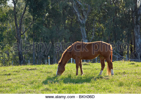 Horse on ranch upcountry on the island of Maui in the State of Hawaii USA - Stock Photo