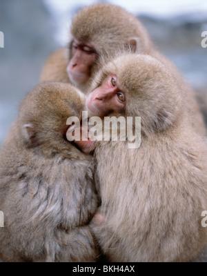 Japanese Snow Monkey , Japanese Macaque ( Macaca fuscata ) bathing in hot springs Jigokudani, Nagano, Japan - Stock Photo