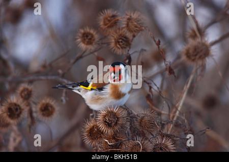 Stieglitz, Carduelis, Distelfink, goldfinch, - Stock Photo