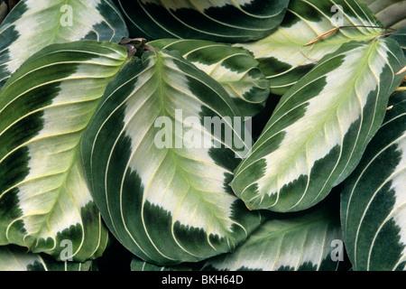 Prayer plant Maranta leuconeura conservatory plant - Stock Photo