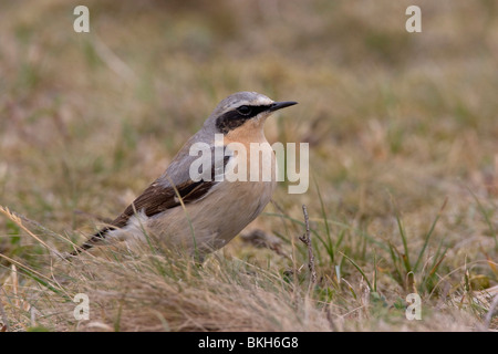 Northern Wheatear, Oenanthe oenanthe, Tapuit - Stock Photo
