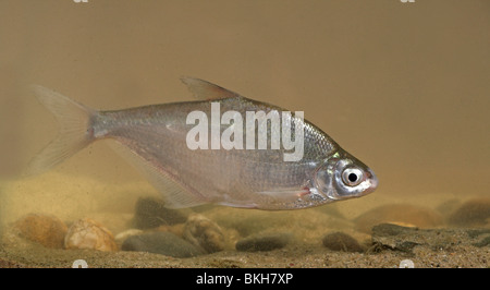 Danube bream swimming above the river bottom, the Danube bream recently colonised the Dutch rivers, probably as - Stock Photo