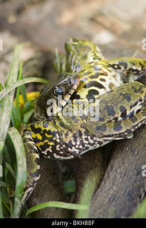 Een Ringslang heeft een forse Bastaardkikker gevangen en heeft grote moeite om deze prooi naar binnen te werken. - Stock Photo