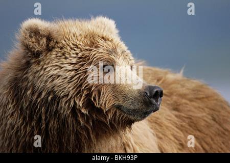 De kop van een bruine beer vriendelijk omkijkend. Close-up of the head of a brown bear looking satisfied. - Stock Photo