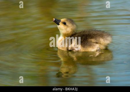 Baby Greylag goose - Stock Photo