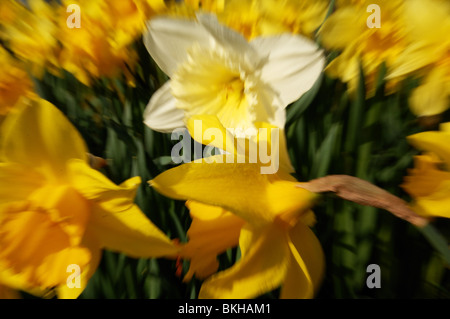 daffodil's in bright sunshine during their annual bloom.White surrounded by yellow in garden - Stock Photo