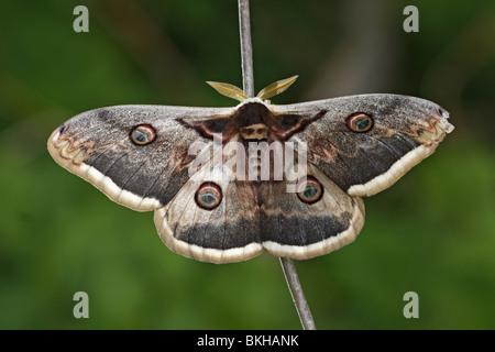 Wiener, Großes, Nachtpfauenauge Wiener, Large, Emperor Moth, moth, butterfly, Saturnia pyri - Stock Photo