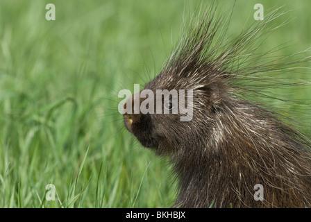 Een Portret van een Noord-Amerikaans Stekelvarken,A portret of a Porcupine. - Stock Photo