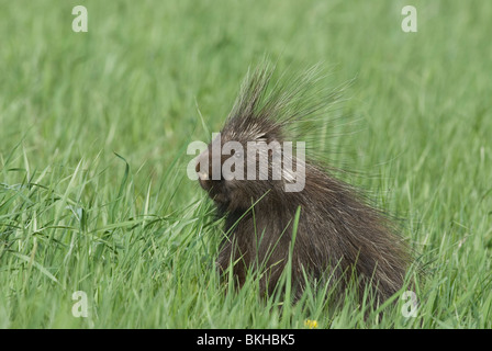 Een Noord-Amerikaans Stekelvarken zittend in het gras,A Porcupine sitting in the grass. - Stock Photo