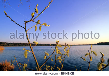 willow catkin and lake in Germany/ Naunhof - Stock Photo