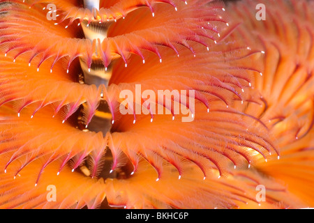 Christmas tree worm Spirobranchus giganteus The Christmas tree worm - Stock Photo