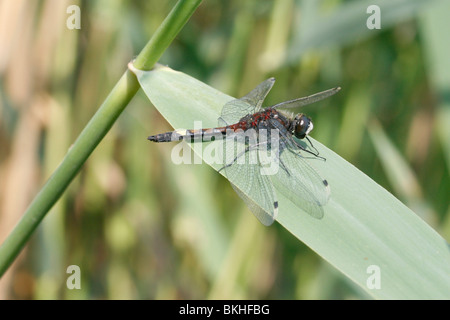 mannetje gevlekte witsnuit op rietblad; male large white-faced darter on common reed - Stock Photo