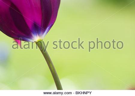 Purple Tulip flower abstract - Stock Photo