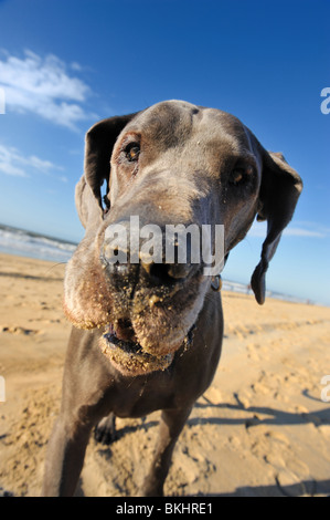 Portrait of a beautiful Great Dane on the beach - Stock Photo