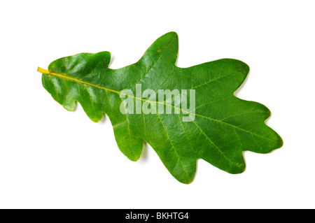 Green oak leaf on white background. Isolated image - Stock Photo