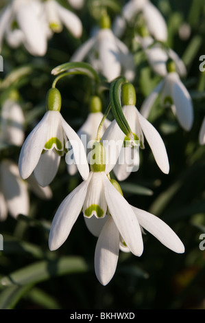 Snowdrops in early evening sun. - Stock Photo