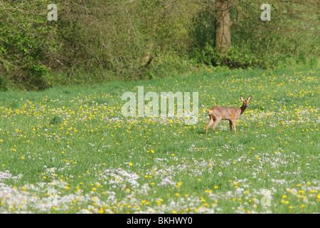 ree in kruidenrijk vochtig grasland met pinkster- en paardenbloemen; roe deer in moist pasture full of  dandelions - Stock Photo
