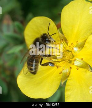 Worker honey bee (Apis mellifera) on rock rose flower - Stock Photo