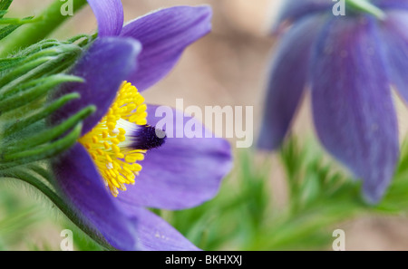Pulsatilla Vulgaris. Pasque flower - Stock Photo
