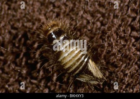 Woolly bear (Anthrenus spp.) carpet beetle larva beetle - Stock Photo