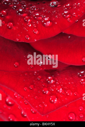 Water drops on the red rose petal for background or texture - Stock Photo