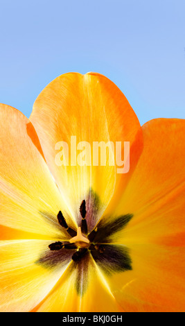 A full bloom spring tulip. - Stock Photo