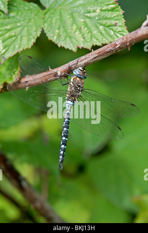 Common Hawker Dragonfly: Aeshna juncea. Male - Stock Photo