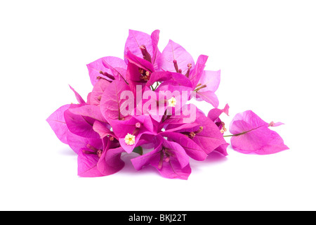 Pink bougainvillea flowers on white background - Stock Photo