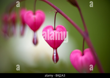 A row of 'bleeding hearts' on a Dicentra plant - Stock Photo