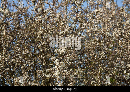 Hawthorn tree in blossom , Hampshire, England. - Stock Photo