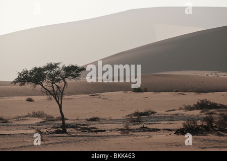 Camel Thorn Trees and Sand Dunes in Sossusvlei, Namibia
