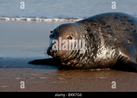 Close up ; Grey; Seal; Halichoerus grypus;Donna Nook - Stock Photo