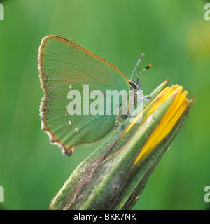 Green Hairstreak (Callophrys rubi), butterfly on a flower bud. - Stock Photo