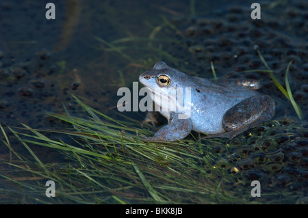Moor Frog (Rana arvalis), blue colored male among spawn. - Stock Photo