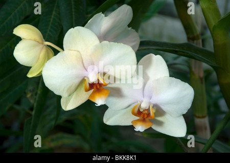 Tropical orchid flower phalaenopsis sp philippines borneo sumatra white flowers stock photo mightylinksfo