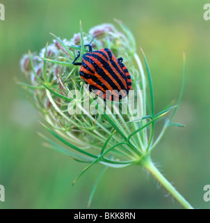 Striped Shield Bug (Graphosoma lineatum) on an inflorescence. - Stock Photo