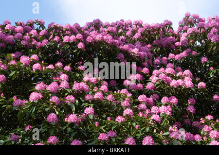 Rhododendron bush in flower - Stock Photo