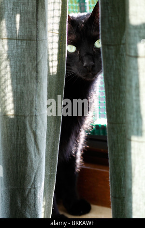 A black cat hiding behind curtains - Stock Photo