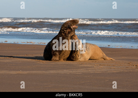 2 ; two Atlantic ;Grey; Seal; Halichoerus grypus; playing on the beach at dawn - Stock Photo