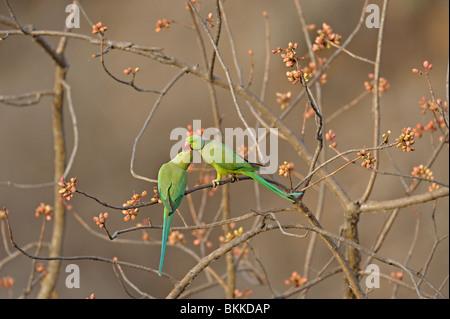 Mating pair of Rose-ringed Parakeet (Psittacula krameri), also known as the Ringnecked Parakeet - Stock Photo