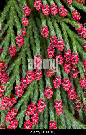 red cone buds on conifer tree / bush - Stock Photo