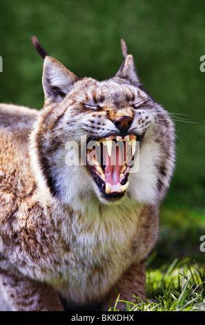 European lynx yawning - Lynx lynx - Stock Photo