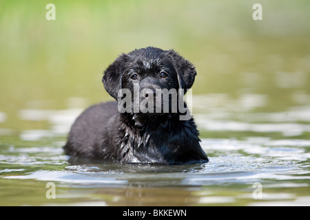 bathing Labrador Puppy - Stock Photo