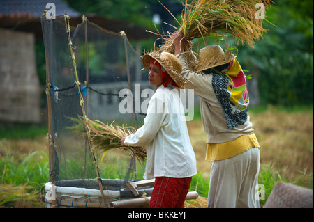 Balinese ricer farmers threshing rice - Stock Photo