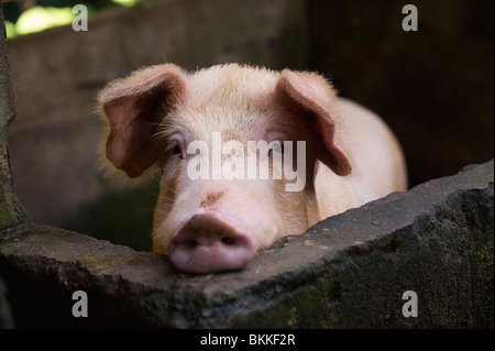 Pig in pen - Stock Photo