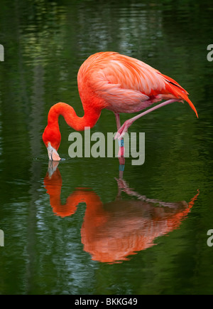 Greater Flamingo (Phoenicopterus roseus) standing on one leg whilst feeding - Stock Photo