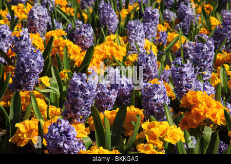 Planted display of brightly coloured spring flowers - Hyacinth and Primula - Stock Photo