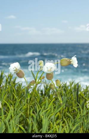 Sea Campion (Silene uniflora) - Stock Photo