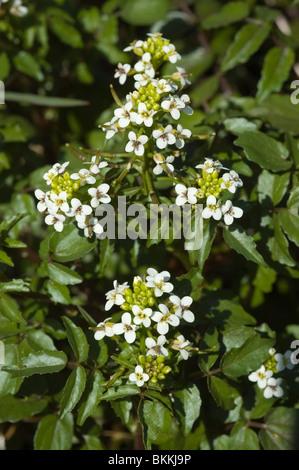 Water-cress or white watercress (Rorippa nasturtium-aquaticum) Stock Photo