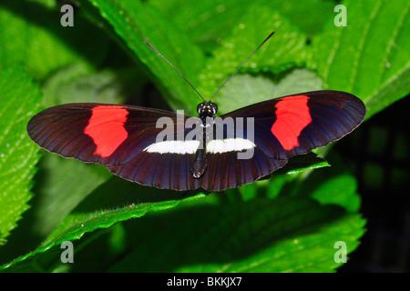 Postman Butterfly (Heliconius melpomene) Manuel Antonio, Costa Rica - Stock Photo
